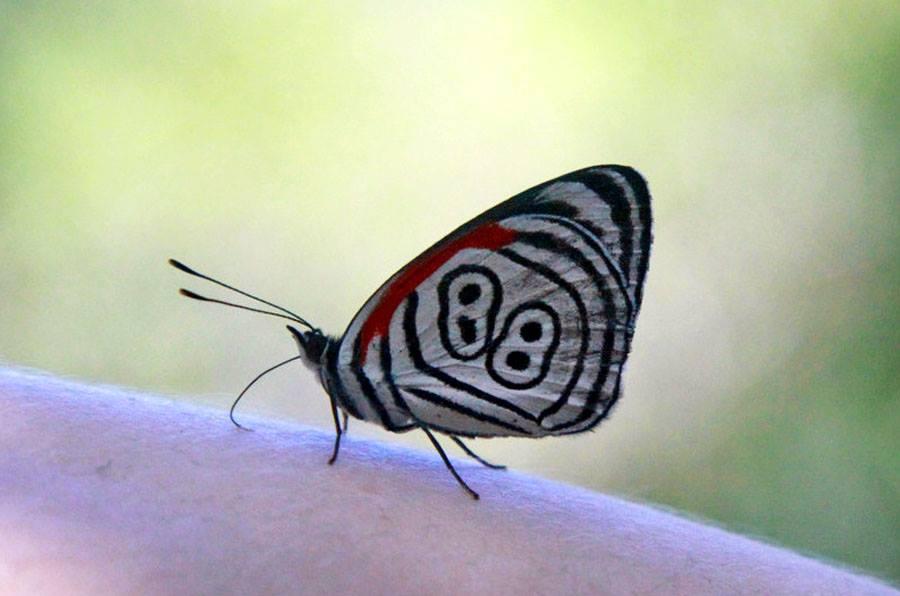 butterfly 98